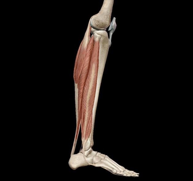 ふくらはぎの筋肉 足首ニュートラル