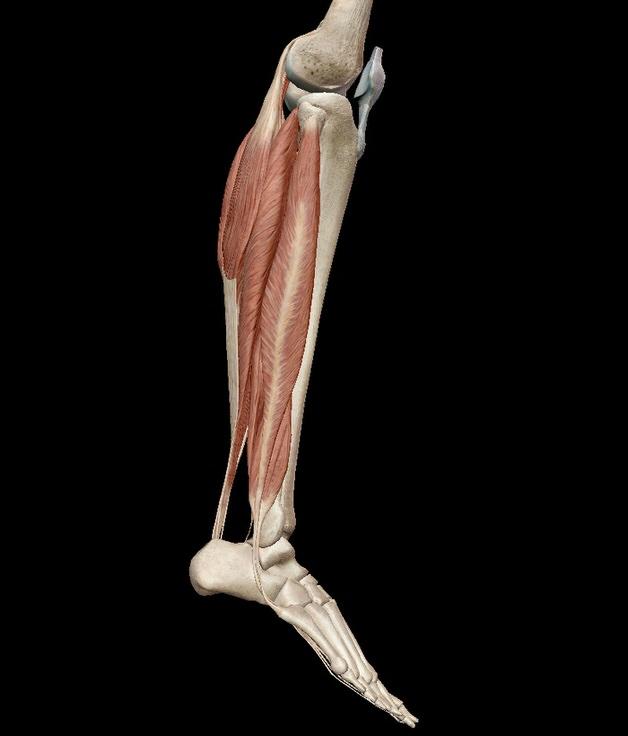 ふくらはぎの筋肉 足首底屈