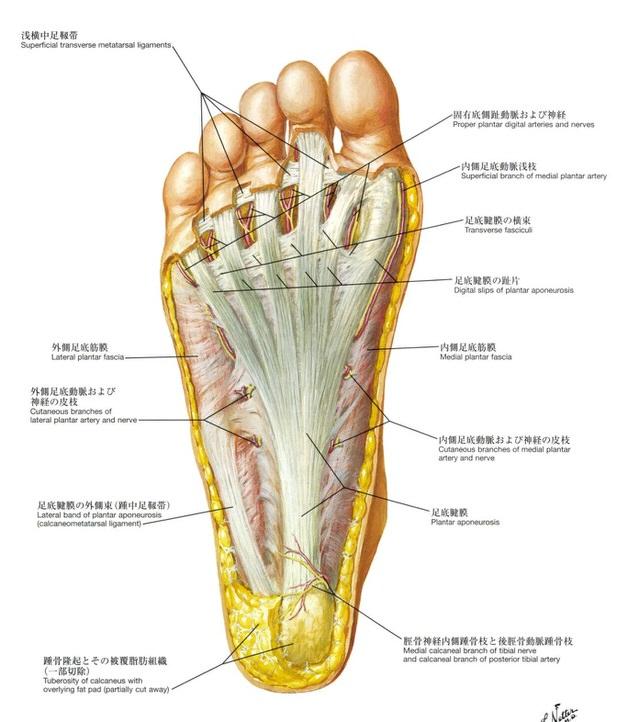 足の裏の解剖