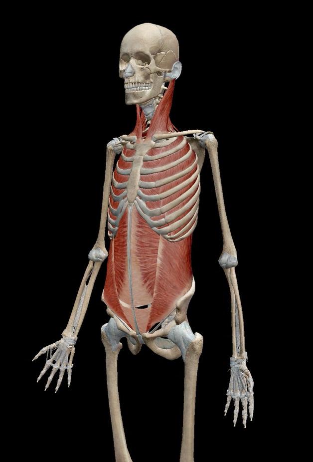 呼吸筋の分布