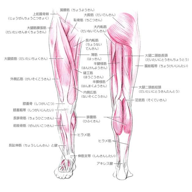 脚の筋肉の全体像