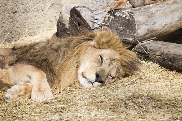 眠っているライオン